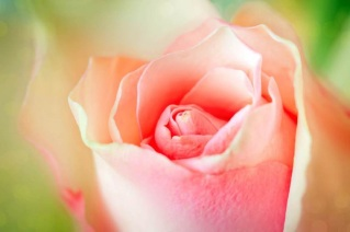 pink-rose-close-up-resized